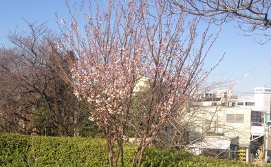 tamagawa_sakura